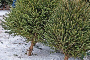 Christmas Tree Supply & Installation